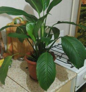 Спатифиллум цветущий (женское счастье)