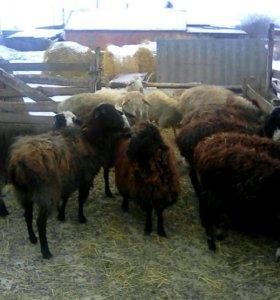 Продам овец оптом ягнята в подарок