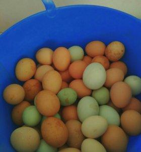 Яйцо инкубационное породистых кур