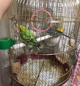 Подам попугаев вместе с клеткой