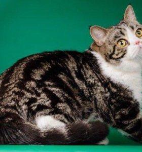 Шотландский страйт кот, котик страйт