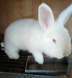 Кролики породы НЗБ