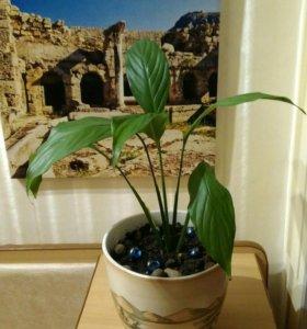 """Растение комнатное """"Спатифиллум"""""""
