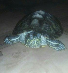 Продам красноухую черепаху вместе с терариумом