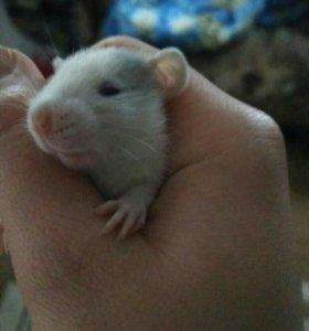 Крысы, крыса