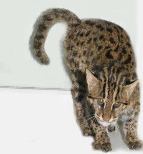 Виверровая кошка кот-рыболов