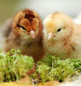Запись на суточных цыплят всех пород