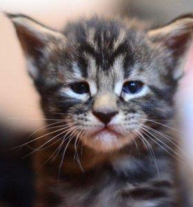 Клубные котята породы Мейн-кун( возможен торг)