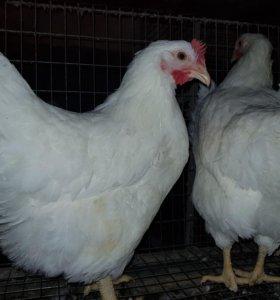 Минимясные курочки В66, В 76. Инкубационное яйцо
