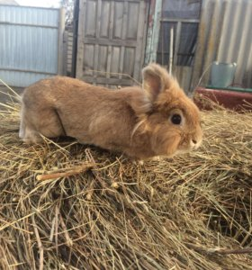 Обмен на крольчиху
