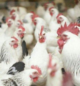 Инкубационное яйцо и цыплята адлерской породы