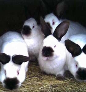 Крольчата калифорнийцы
