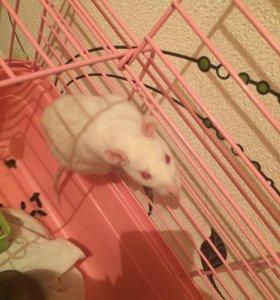 СРОЧНО!!!!!! Ручная крыса(девочка)
