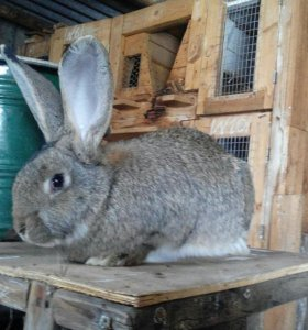Крольчата Фландр.