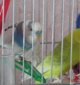 Парочка волнистых попугайчиков с клеткой