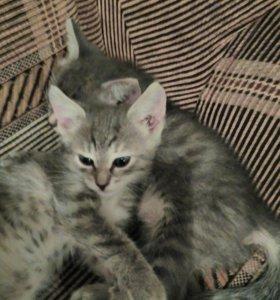 Котята девочки 2 мес в добрые руки