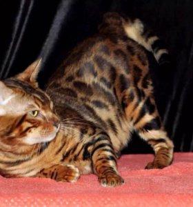 Кот, котята, вязка