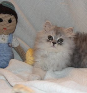 Персидские котята . Котик 2 месяца.