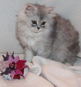 Персидские котята. Кошечка 2 мес.