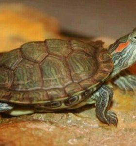 Черепаха отдам даром