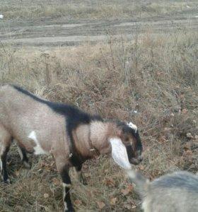 Нубийский козел на случку