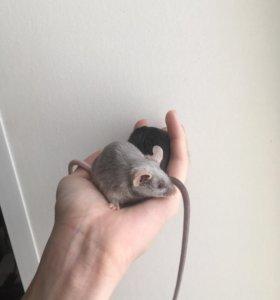 Сатиновые мыши самцы