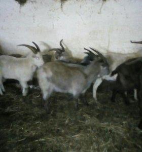Продам козлов кастраты
