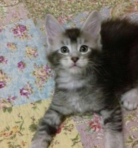 Котята Мейн кун от питомника .