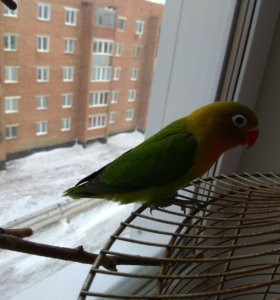 Попугай неразлучник Фишер