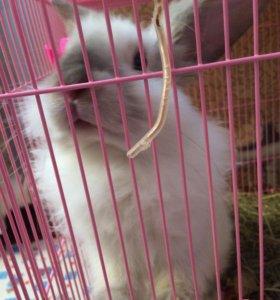 Кролик лиловый