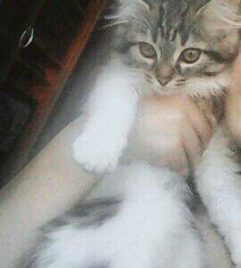 Хорошие руки одам котёнка,завут Ева 2месяца