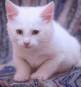 Белый котёнок девочка 4,5 мес
