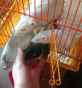 Крыска в добрые руки