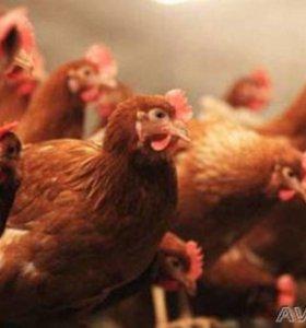 курочки несушки 4-5 мес