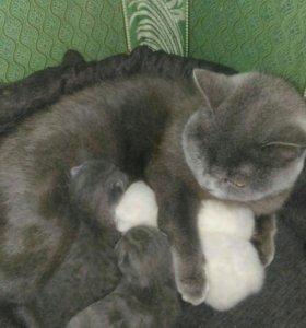 Продаются шотландские котята возможен резерв