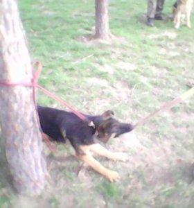 Предлагаем шикарных щенков немецких овчарок