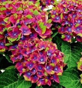 Гортензия садовая крупнолистная (только ОПТ)