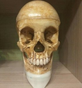 анатомический череп человека
