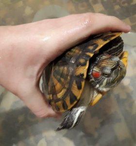 Черепаха красноушка