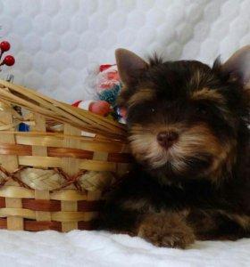 продаются щенки редкого окраса Шоколадный Йорк