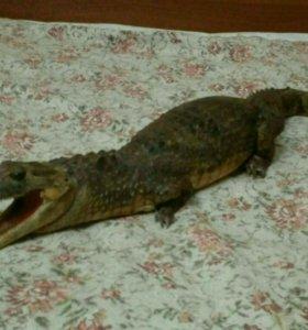 Чучело крокодила.