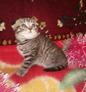Шотландский плюшевый котик-вислоушка