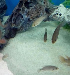 Рыбки аквариумные Цихлиды