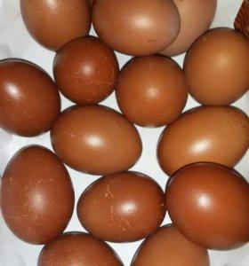 Инкубационные яйца маранов