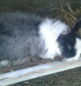 Кролики русская ангора.