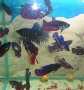 Петушки(бойцовская рыбка)