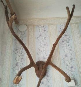 Панты-рога молодого оленя