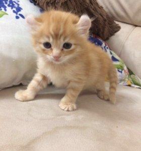 Котёнок Американский керл