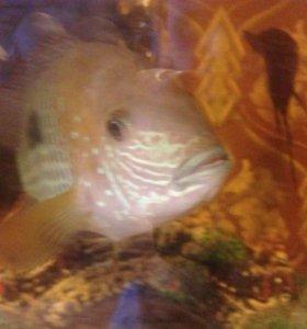 Акары бирюзовые