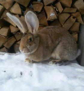 Кролики чистокровные и разнокровные,сукрольные сам